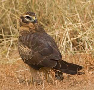 Birds Of Prey Britain